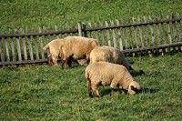 Owce pasące się obok Familiówki