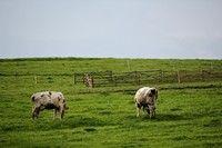 Krowy pasąca się obok Familiówki