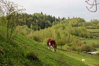 Krowa pasąca się obok Familiówki